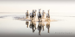 Camargue Morning (pixellesley) Tags: horses whitehorses camargue france lagoon water reflections dawnlight earlyshoot spashing cantering racing equine golden clear ocean lesleygooding fineartphoto