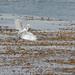 DSC_7453.jpg Great Egret, Steamer Lane, Santa Cruz