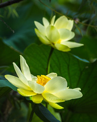 Lotus Lovelies (PopsDigital) Tags: wildflowers wildflower pond water lily lotus flower flowers green yellow bloom blooming petals budding buds bud stem leaves leaf missouri floral blossom blossoming sweet beauty beautiful color colour portrait macro closeup sonyslta77v
