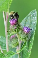 bee on wild flowers (Mel Diotte) Tags: bee wild flowers mel diotte nature nikon d500 polinator