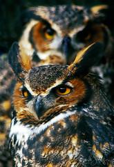 Two Hoots in a Hollow (Dick Shaffer) Tags: wildliferehabcenters greathornedowl owlportraits owls bird owl portrait rehab avian two birds