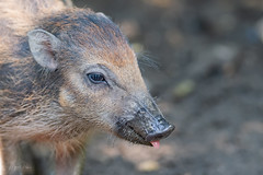 Stick your tongue out (CapMarcel) Tags: stick your tongue out pig wild young baby
