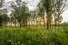 Golden Prairie ((chris-gill)) Tags: orland grasslands forest prairie illinois native grass trees sunset