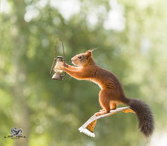 red squirrel is flying on an carpet with a lantern (Geert Weggen) Tags: squirrel humor animal tightropewalking clothesline stunt umbrella circus laundry photography rope wire concepts red rodent sweden balance care celebration cheerful closeup colorimage conceptstopics cute cycle engine horizontal lifestyles loveemotion mammal modeoftransport nature outdoors slackwire vacations wallpaperdecor tivoli tent act magic flyingcarpet carpet travel lantern bispgården jämtland geertweggen geert weggen ragunda hardeko