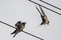 Be right back! (DanielaC173) Tags: swallow barnswallow hirundorustica andorinhadaschaminés andorinha bird feeding chicks juvenile ave