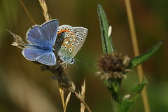 Pair of Common Blue Butterflies at Holly Hill Country Park, Hampshire, UK (Art-G) Tags: insect butterflies commonblue hollyhill countrypark hampshire uk canon eos7dmkii 100400lisusm