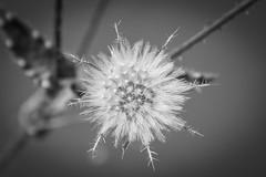 Guarded Wishes (NVOXVII) Tags: dandelion dandelionclock nature flower macro bnw blackandwhite monochrome geometric canon winchfield hampshire