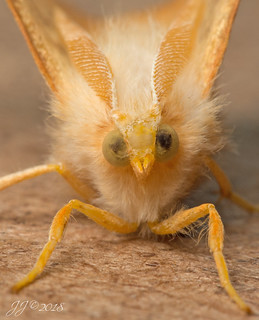 A Dusky Thorn moth - Ennomos fuscantaria