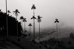 I love places that make you realize how tiny you and your problems are... (Stefania Avila) Tags: colombia salento valledelcocora landscape mountains nature naturaleza palmadecera palma flower blackandwhite blancoynegro