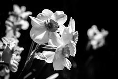 DSC_4925-2 (brianpatrick66) Tags: nikon northcarolina nikond500 nikonphotography nikonphotog dslr d500 fayetteville tam tamron macro macrolens macrophoto tamron90mm 90mm rosegarden fayettevillerosegarden bwphoto blackandwhite blackandwhitephoto nature botanicalgarden capefear capefearbg