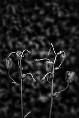 (Tamsin Swait) Tags: flowers horticulture martagonlily nature plants seedpods seedheads