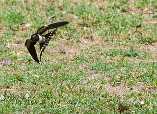 La acrobacia en vuelo…Golondrina común. Flying acrobatics ... Common Swallow - Hirundo rustica