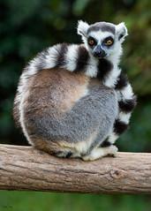 Ring-tailed lemur (Christian Sanchez Photography) Tags: lemur macrophotography madagascar africabirds africa africawildlife wildlife wildanimal wildphoto waterbirds wateranimal aves animal avescostarica monkey mono