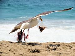 Bandit (thomasgorman1) Tags: canon food stealing pest seagull gull nature sea beach sand ide water ocean malibu zuma ca wildlife birds