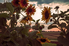 Sunburst and sunflowers (Christian Hacker) Tags: sulzfeld sunburst sunflowers flowers grabfeld rhöngrabfeld franconia franken unterfranken rural countryside agriculture sunset evening red light pink atmosphere moody canon eos50d tamron 1750mm fields hills farmland summer warmth warm germany bavaria clouds h strawbale grass gradientmap photoshop cokin nd8filter rays sunlight dusk sunrays scenic