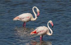 Dos (Ricard Sánchez Gadea) Tags: flamenco flamenc flamingo deltadelebre deltadelebro delta natura naturaleza pajaro ocell bird despegue canon catalunya canonistas catalonia cataluña 7d 7dcanon eos7d canon7d canoneos7d 150600 sigma150600mmf563dgoshsmcontemporary sigma150600 pájaro agua mar océano