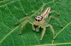 Salticidae, Telamonia spec. / Springspinne - jumping spider, Thailand, Khao Lak, Baan Krating Resort (tho.pieper) Tags: khaolak salticidaebaankratingresort thailand thailandlumixgx80mitoly60mmmacrobeif45mp4stackinheliconentwickelt
