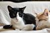 Idaho and Otis (rootcrop54) Tags: idaho tuxedo twoboys otis dilute orange ginger tabby males companions gentle boys neko macska kedi 猫 kočka kissa γάτα köttur kucing gatto 고양이 kaķis katė katt katze katzen kot кошка mačka gatos maček kitteh chat ネコ