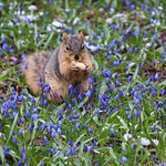 Squirrels On a Snowy Spring Day in Ann Arbor at the University of Michigan (April 17th, 2018) thumbnail