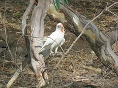 Cacatua tenuirostris 4 (barryaceae) Tags: warracknabeal fauna park vic victoria ausbird ausbirds cacatua tenuirostris longbilled corella australia