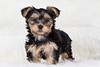 Reina-4 (lolandfriends) Tags: cachorros yorkshire perro petlovers petphotographer petphotography pet puppy dogphotographer dogphotography fotografodeperros doglover dog fotógrafoenbarcelona fotografíaespecializadaenmascotas cachorro