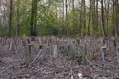 Art or an over active Woodcutter (Johan Moerbeek) Tags: heiloo nijenburg bos wood woodcutter trees heilooerbos bomen houthakker