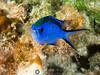Chromis (R. Donald Winship Photography) Tags: aquaticlife bluechromis cozumel divingunderwater scubaclubcozumelhousereef