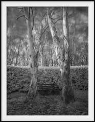 memorial 4 (Andrew C Wallace) Tags: ir infrared blackandwhite bw olympusomdem5 microfourthirds m43 thephotontrap mtmacedon victoria australia warmemorial trees seats wind blur longexposure nd400