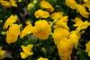 Yellow carpet (RIch-ART In PIXELS) Tags: violets yellow flower flowers bouquet fujifilmxt20 xt20 macro