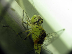dragonfly (Shaikh Gaffar) Tags: dragonfly insects indianwildlife ngc natural mumbai india