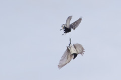 white wagtail fight 1 (Paul Wrights Reserved) Tags: whitewagtail wagtail wagtails fightingbirds birdfight acrobatics aerial combat aerialcombat midair wings feathers movement motion action actionphotography bird birding birdphotography birds birdinflight