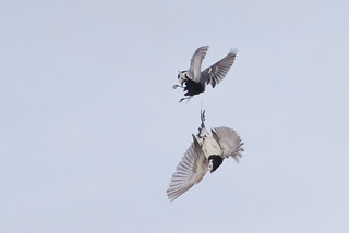 white wagtail fight 1