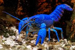 Procambarus alleni (DouxVide) Tags: mft m43 olympus em1ii em12 60mm macro blue bleu blu blau azurro ecrevisse procambarus alleni crayfish animal nature closeup water fish underwater