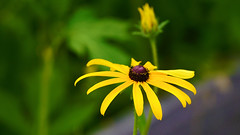 Brown-eyed Susan (Rudbeckia hirta), Hartley Nature Center - Duluth MN USA, 07/19/18 (TonyM1956) Tags: elements tonymitchell minnesota nature stlouiscounty hartleynaturecenter duluth browneyedsusan rudbeckiahirta sonyalphadslr macrounlimited sonyphotographing
