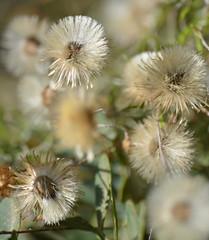 Seedheads (glyn_nelson) Tags: rhodes holiday 2018 sun pefokos flower seeds