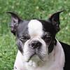 wink (MiChaH) Tags: dog pet hond huisdier marty bostonterrier 2018 oisterwijk portrait portret dogportrait hondenportret dogface