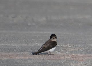 Bank Swallow_0781