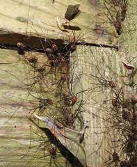 Harvestman cluster; not for arachnophobes. (dugwin2) Tags: harvestman cluster probably leiobunum rotundum dark corner trellis lower farm nature reserve berkshire