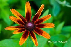 IMG_0386 (nitinpatel2) Tags: flower nature nitinpatel