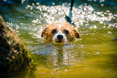 Here Comes August (moaan) Tags: kobe hyogo japan jp dog jackrussellterrier kinoko swim swimming river summer august ripples rippled desperately expression outdoors weeked focusonforeground selectivefocus depthoffield dof bokeh bokehphotography canon canonphotography canoneos5dsr ef70200mmf28lisiiusm utata 2018 littledoglaughedstories