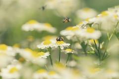 Long hot summer days (charhedman - away till the end of September) Tags: daisies bees fieldofdaisies longhotsummer waytoohotforme givemeautumnwinterorspringanyday theflowersaresureprettythough macro canon6d