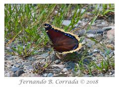 Mourning Cloak (4051) (fbc57) Tags: mourningcloak butterflies lepidoptera cochranroad richmond vermont nymphalisantiopa tortoiseshells nymphalids nikond850 nikon300f4pfvrtc14x