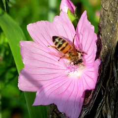 La tête dans le pollen (ViveLaMontagne67) Tags: france vosges mauve butinage pollen pollinisation rose flower bee
