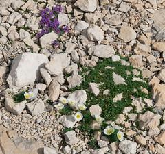 Alpine flowers (happy.apple) Tags: starafužina radovljica slovenia si alpskamadronščica linariaalpina alpinepoppy dwarfpoppy julijskimak slovenija julijskealpe julianalps alps mountains wildflowers summer alpinetoadflax geotagged