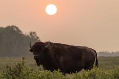 Red Sun (ktam_iceberg) Tags: bison buffalo elk island national park canada alberta wildlife bull sunrise red smoke sky