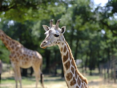 Giraffe (cosbrandt) Tags: gfx50s gf110mm safari giraffe