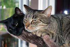 Kuschelzeit (samgi2) Tags: cats haustier tier indoor pets cat kitty kitten pet animal cute gato feline canon nrw germany katzen katze black welpen baby natur tabby kuschelig beautiful sony