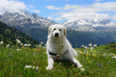 Auf die Plätze! Fertig! (balu51) Tags: wanderung landschaft berge blumen wildblumen schnee hund kuvasz ungarischerhirtenhund pause picknick grün weiss blau hiking hikingwithdogs dog white landscape mountains wildflowers green peak snow clouds summer picnicbreak noon hot graubünden juni 2018 copyrightbybalu51