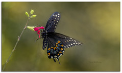 Spicebush Swallowtail Butterfly (Pragmatic1111) Tags: bug insect green color nikon d850 outdoors spicebushswallowtail