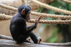 Fine and handy (Paul Wrights Reserved) Tags: chimp chimpanzee chimpanzees monkey monkeys baby child children hand cute face rope ropes play playful playing ape apes mammal mammals animal animals animalantics zoo blackbeauty smileonsaturday